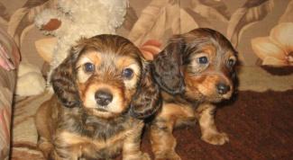 How to raise a Dachshund puppy