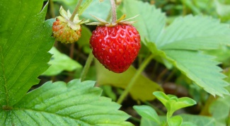 As for the strawberry picking