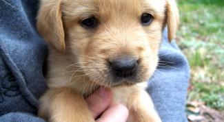 Как чистить уши щенку