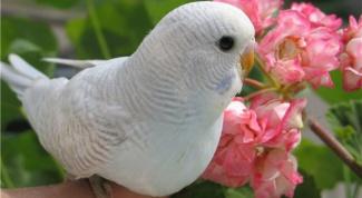 Как научить волнистого попугая садиться на руку