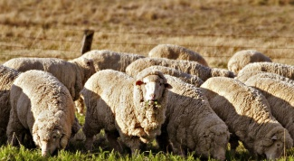 Как выращивать овец в 2017 году