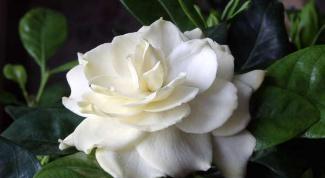 How to transplant a Gardenia