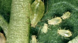How to withdraw aphids