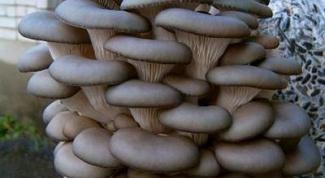 How to make oyster mushroom mycelium