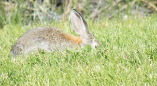 Как вымачивать зайца