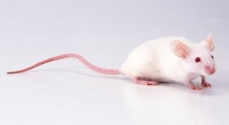 Как определить пол у мышей