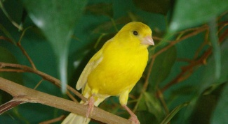 How to teach a Canary to sing