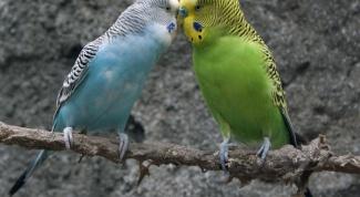 разводить волнистых попугайчиков