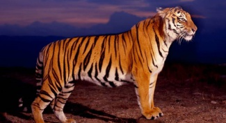Как научиться рисовать тигра