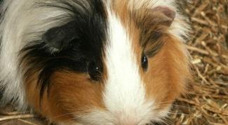 Как определить возраст морской свинки