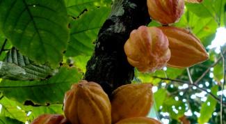 Как вырастить какао
