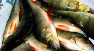 Как проверить свежесть рыбы