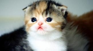 Как выбрать вислоухого котенка