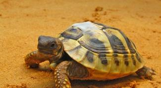 Возраст черепахи: как определить по таблице