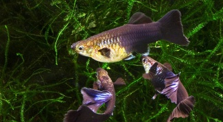 How to distinguish male and female guppies