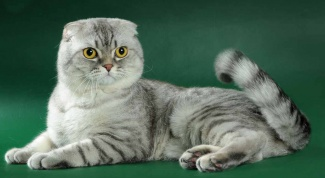 How to feed the Scottish fold