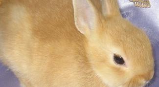 Как узнать породу кролика