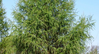 How to grow larch