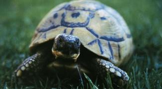 Как содержать сухопутную черепаху