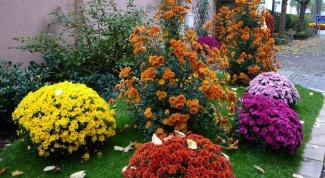 Как хранить хризантемы