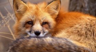 Как нарисовать лисичку