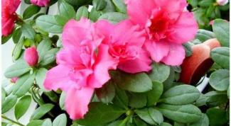 Как сажать цветок в горшок