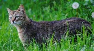 Как поставить укол коту