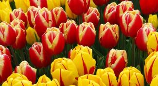 Как хранить тюльпаны зимой