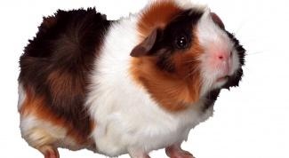 Как отличить самца морской свинки от самки