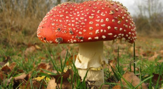 How to distinguish a false mushroom