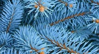 Как вырастить из семени голубую ель