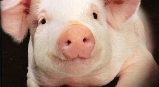 Как открыть свиноферму в 2017 году