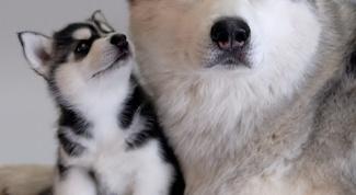 Как определить роды у собаки