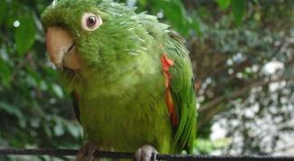 Как приручить быстро попугая