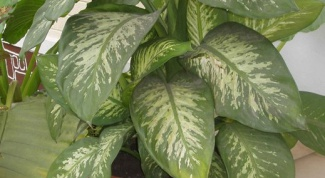 How to prune dieffenbachia