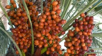 Как вырастить из финика пальму