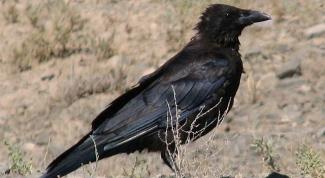 Как содержать ворона