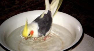 Как купать попугайчиков