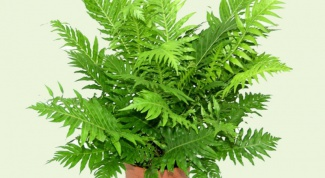 How to water a fern