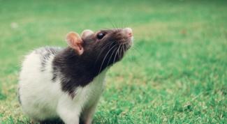 Как мыть декоративных крыс