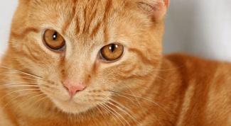 Как лечить печень у кошек