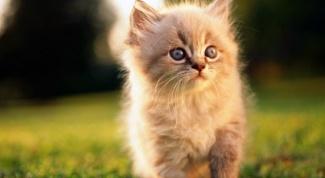 Как лечить лишай у котенка