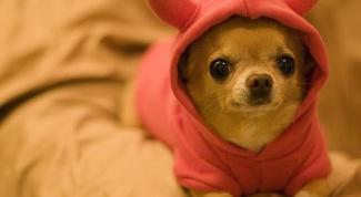 How to call Chihuahua
