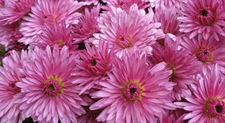 Как размножить хризантему