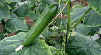 Why not grow cucumbers