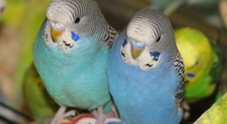 Как определить самку волнистого попугая