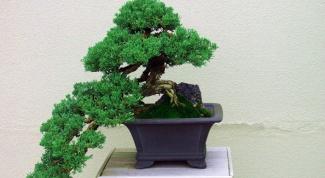How to grow bonsai pine