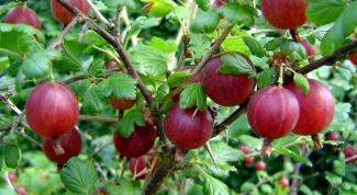 How to prune gooseberries
