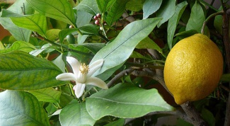 How to grow indoor lemon