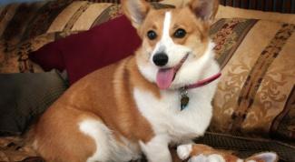 Как лечить глисты у собак